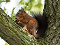 Squirrel (15378536475).jpg