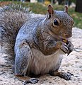 Squirrel (265436226) (2).jpg