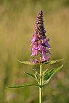 Stachys palustris - soo-nõianõges.jpg