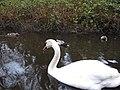 Stanley Park - Swan (4453385706).jpg