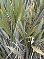 Starr-010717-0062-Phormium tenax-leaves-Kula-Maui (23906256023).jpg