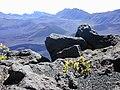 Starr-021024-0013-Vaccinium reticulatum-on West rim-Kalahaku HNP-Maui (24257475460).jpg