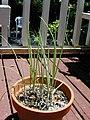 Starr-030418-0102-Allium fistulosum-in pot-Makawao-Maui (24262845769).jpg