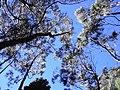 Starr-031214-0051-Eucalyptus sp-treetops-Hosmers Grove-Maui (24381809780).jpg