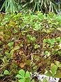 Starr-050407-6289-Marsilea villosa-habit-Maui Nui Botanical Garden-Maui (24627262532).jpg