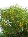 Starr-050525-1925-Acacia confusa-flowering habit-Water catchment-Kahoolawe (24133890514).jpg