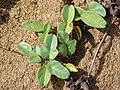 Starr-060928-0386-Ipomoea imperati-leaves-Keopuolani Park-Maui (24239551273).jpg
