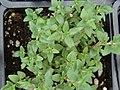 Starr-070906-8842-Thymus vulgaris-habit-Kula Ace Hardware and Nursery-Maui (24596653920).jpg