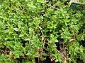 Starr-080117-1547-Thymus praecox subsp arcticus-habit-Walmart Kahului-Maui (24782241362).jpg