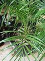 Starr-080117-2194-Phoenix roebelenii-habit-Home Depot Nursery Kahului-Maui (24274486544).jpg