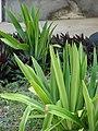 Starr-080531-4847-Crinum asiaticum-leaves-Halsey Dr around residences Sand Island-Midway Atoll (24792912432).jpg