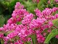 Starr-090417-6181-Antigonon leptopus-flowers-Pukalani-Maui (24656763930).jpg