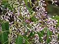 Starr-090518-7885-Melia azedarach-flowers-Omaopio-Maui (24837401052).jpg