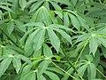 Starr-090618-1234-Manihot esculenta-leaves-Wailua-Maui (24598381339).jpg