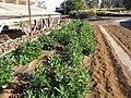Starr-091023-8517-Solanum muricatum-crop rows-Kula Experiment Station-Maui (24359918773).jpg