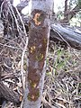 Starr-091028-8649-Eucalyptus sp-herbicide ballistic technology trunk hits-Olinda-Maui (24691562410).jpg