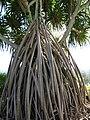 Starr-091104-0749-Pandanus tectorius-prop roots-Kahanu Gardens NTBG Kaeleku Hana-Maui (24619903129).jpg