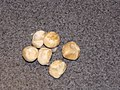 Starr-091220-0720-Pachira aquatica-seeds-Haiku-Maui (24624868049).jpg