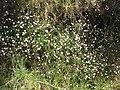 Starr-100603-6873-Erigeron karvinskianus-flowering habit-Polipoli-Maui (24921796242).jpg
