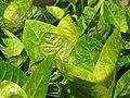 Starr-110209-0797-Graptophyllum pictum-leaves-Resort Management Group Nursery Kihei-Maui (24447815263).jpg