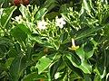 Starr-110330-3680-Fagraea berteroana-flowers and leaves-Garden of Eden Keanae-Maui (25080618005).jpg