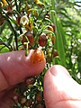 Starr-110411-4935-Dianella sandwicensis-flower and brown fruit forming form sandwicensis-Hawea Pl Olinda-Maui (24786891340).jpg