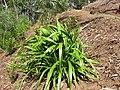 Starr-110411-4952-Dianella sandwicensis-habit form sandwicensis-Hawea Pl Olinda-Maui (24786916410).jpg