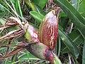 Starr-110609-6612-Strelitzia reginae-fruit-Shibuya Farm Kula-Maui (24466214384).jpg