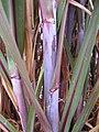 Starr-120608-7241-Cenchrus purpureus-Purple Banagrass stems-Ulupalakua Ranch-Maui (24514433444).jpg