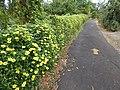 Starr-150811-0545-Thunbergia alata-Sundance flowering habit-Enchanting Floral Gardens of Kula-Maui (25177433552).jpg