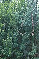 Starr-990107-3135-Passiflora tarminiana-habit-Polipoli-Maui (23897098644).jpg