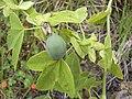 Starr 030628-0052 Passiflora subpeltata.jpg