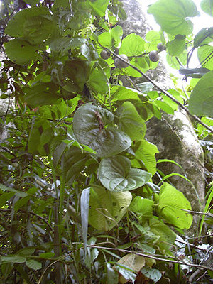 Yam production in Nigeria - Dioscorea bulbifera