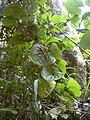 Starr 030807-0054 Dioscorea bulbifera.jpg