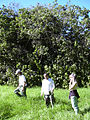 Starr 040105-0094 Croton guatemalensis.jpg