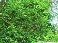 Starr 050517-1465 Colubrina asiatica.jpg