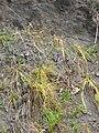 Starr 050517-1576 Cyperus phleoides.jpg