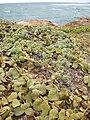 Starr 050519-6859 Solanum nelsonii.jpg
