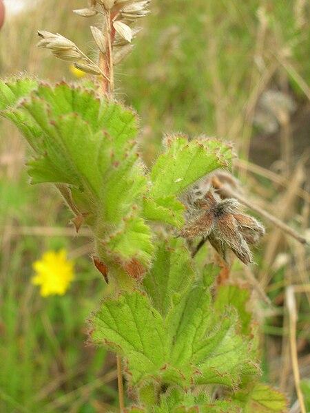File:Starr 050816-3652 Pelargonium capitatum.jpg