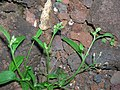 Starr 060406-7219 Cyanthillium cinereum.jpg