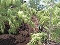 Starr 060422-7842 Casuarina equisetifolia.jpg
