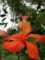 Starr 060826-8678 Hibiscus kokio subsp. saintjohnianus.jpg