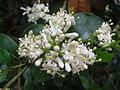 Starr 061105-9605 Psydrax odorata.jpg