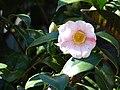 Starr 070111-3331 Camellia japonica.jpg