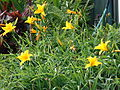 Starr 070302-4922 Hemerocallis sp..jpg