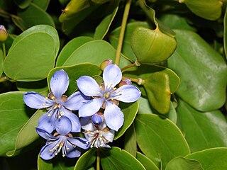 Larreoideae subfamily of plants