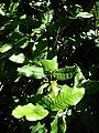 Starr 071024-0147 Petraea volubilis.jpg