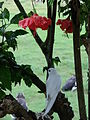 Starr 080607-7354 Hibiscus rosa-sinensis.jpg