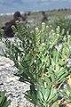 Starr 990614-0879 Lepidium bidentatum var. o-waihiense.jpg