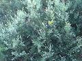 Stauracanthus boivinii 4.JPG